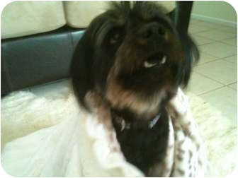 Terrier (Unknown Type, Medium)/Spaniel (Unknown Type) Mix Dog for adoption in Rancho Mirage, California - Ms. Taffy