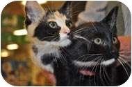 Domestic Shorthair Kitten for adoption in Putnam Valley, New York - Fiona