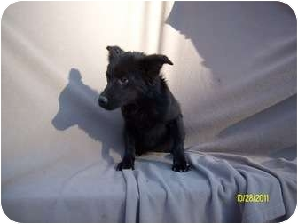 German Shepherd Dog/Poodle (Standard) Mix Puppy for adoption in Wilminton, Delaware - Bitsy