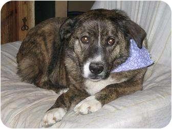 Border Collie/Australian Shepherd Mix Dog for adoption in Jersey City, New Jersey - Nellie