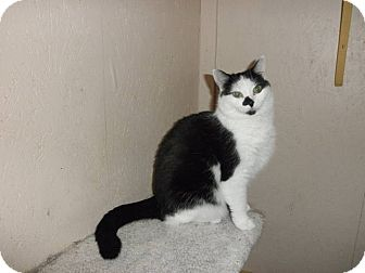 Domestic Shorthair Cat for adoption in Marion, Wisconsin - Oreo