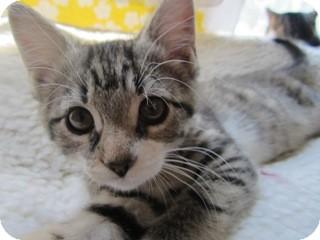 Domestic Shorthair Kitten for adoption in St. Louis, Missouri - June