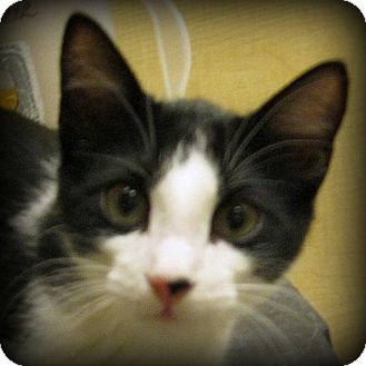 Domestic Shorthair Kitten for adoption in Weatherford, Texas - Tank