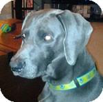 Weimaraner Dog for adoption in St. Louis, Missouri - Louie