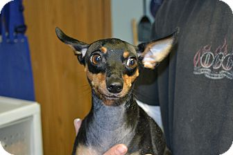 Miniature Pinscher/Chihuahua Mix Dog for adoption in Edwardsville, Illinois - Little Boy