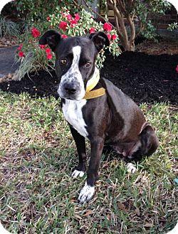 Labrador Retriever/Pointer Mix Dog for adoption in Houston, Texas - Sadie