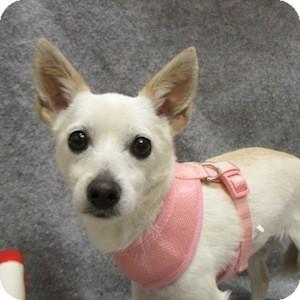 Chihuahua Mix Dog for adoption in Gilbert, Arizona - Smudge