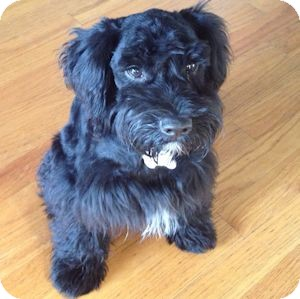 Schnauzer (Miniature) Mix Puppy for adoption in Redondo Beach, California - Simpson
