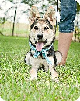 German Shepherd Dog Mix Dog for adoption in Portsmouth, Rhode Island - Frisbee-w/video!