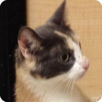 Domestic Shorthair Cat for adoption in Weatherford, Texas - Calico Kitty