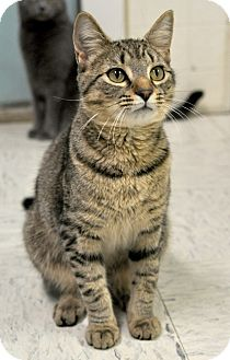 Domestic Shorthair Cat for adoption in Wilmington, Delaware - Ammo