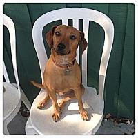 Adopt A Pet :: LOUIE the CHI-WEENIE!! - Brooksville, FL