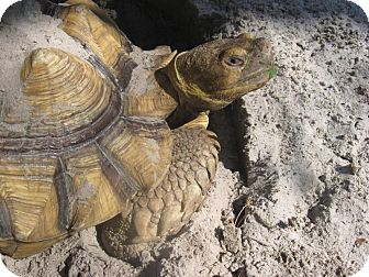 Tortoise for adoption in Christmas, Florida - Speedy the Sulcata