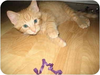 Domestic Shorthair Kitten for adoption in Fort Lauderdale, Florida - Popcorn