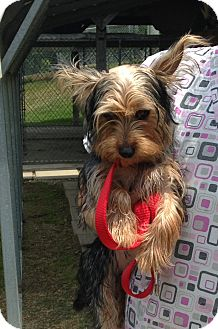 Yorkie, Yorkshire Terrier Mix Puppy for adoption in Greensburg, Pennsylvania - Majesty
