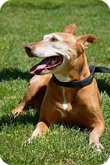 Vizsla/Labrador Retriever Mix Dog for adoption in Midland, Texas - Marietta
