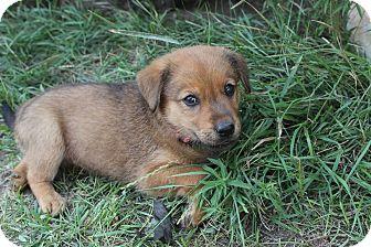 Retriever (Unknown Type)/Shepherd (Unknown Type) Mix Puppy for adoption in Regina, Saskatchewan - Liberty
