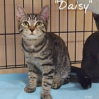 Domestic Shorthair Cat for adoption in Ocean City, New Jersey - Daisy