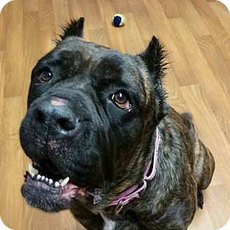 Cane Corso Mix Dog for adoption in Lisbon, Ohio - Mocha- RESCUE ONLY