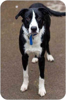 Border Collie Mix Dog for adoption in Portland, Oregon - Jacko
