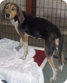 Treeing Walker Coonhound Mix Dog for adoption in McClure, Ohio - Ethel