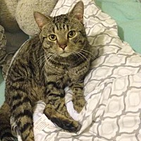 Domestic Shorthair Cat for adoption in Herndon, Virginia - Pepsi