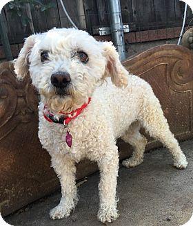 Poodle (Miniature) Mix Dog for adoption in Santa Ana, California - Khloe