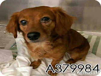 Dachshund Mix Dog for adoption in San Francisco, California - Scarlet