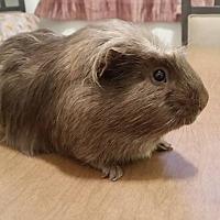 Guinea Pig for adoption in Manhattan, Kansas - Mongo