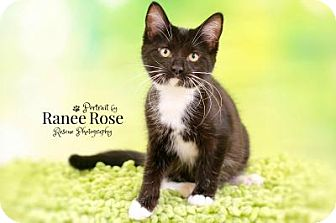 Domestic Shorthair Kitten for adoption in Sterling Heights, Michigan - Equality