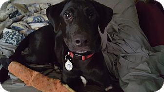 Labrador Retriever Mix Puppy for adoption in Brattleboro, Vermont - Dixon