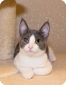 Domestic Shorthair Kitten for adoption in Seville, Ohio - Sawyer