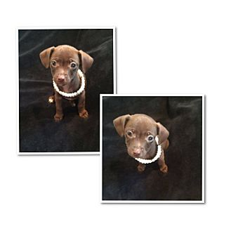 Terrier (Unknown Type, Medium) Mix Puppy for adoption in South San Francisco, California - Twix