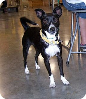 Terrier (Unknown Type, Medium) Mix Dog for adoption in Lafayette, Louisiana - Rosie