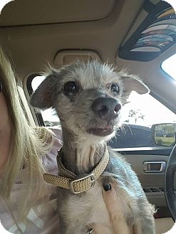 Yorkie, Yorkshire Terrier Mix Dog for adoption in Lehigh Acres, Florida - Naaman
