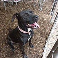 American Staffordshire Terrier/Labrador Retriever Mix Dog for adoption in Fair Oaks Ranch, Texas - Cupcake