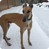 Adopt A Pet :: Maverick - Swanzey, NH