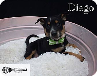 Shepherd (Unknown Type) Mix Puppy for adoption in DeForest, Wisconsin - Diego
