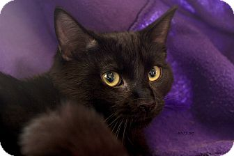 Domestic Shorthair Kitten for adoption in Flushing, Michigan - Wayne