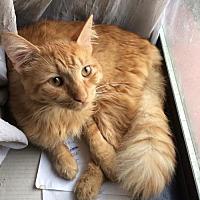 Adopt A Pet :: Scruffles - Glendale, AZ
