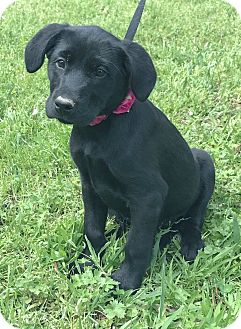 Labrador Retriever Mix Puppy for adoption in Saratoga Springs, New York - Dolly 💜 ADOPTED!