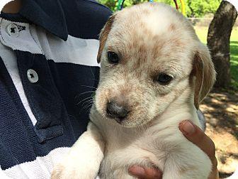 Australian Cattle Dog/Labrador Retriever Mix Puppy for adoption in Boerne, Texas - Kara