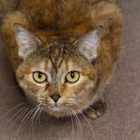 Adopt A Pet :: Chloe - Sedona, AZ