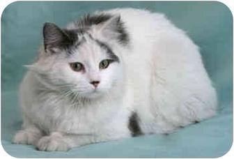 Maine Coon Cat for adoption in Port Hope, Ontario - Ferrari