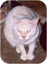 Siamese Cat for adoption in Clementon, New Jersey - Jocque