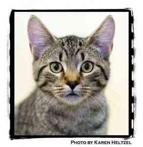 Domestic Shorthair Kitten for adoption in Warren, Pennsylvania - Kline