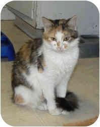 Domestic Mediumhair Cat for adoption in St. James, Missouri - Trudy