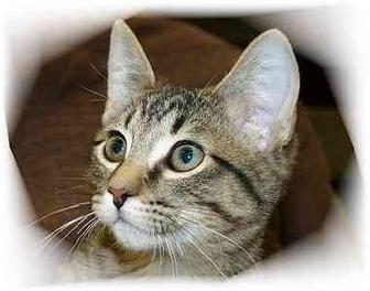 Domestic Shorthair Cat for adoption in Montgomery, Illinois - Logan