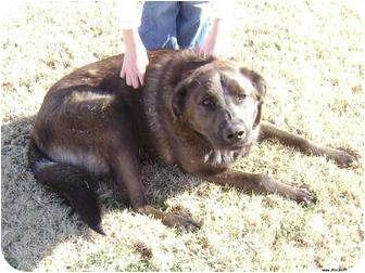 Labrador Retriever/German Shepherd Dog Mix Dog for adoption in Newcastle, Oklahoma - Brownie