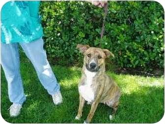 Pit Bull Terrier Mix Dog for adoption in El Cajon, California - Bella